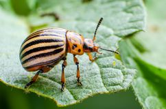 Colorado potato beetle crawling on potato leaves.  royalty free stock image