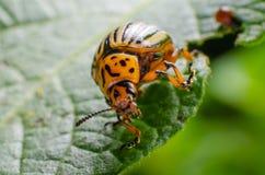 Colorado potato beetle crawling on potato leaves.  royalty free stock photos