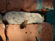 Colorado potato beetle crawling on the wall. He escaped from the garden potato beetle somewhere quickly crawling on old korpichnoy wall of the old house Stock Image