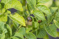 The Colorado Potato Beetle destroying the potato leaves on the field is removed stock image