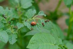Colorado potato beetle eat potato leaves. Colorado potato beetle and larvae eat potato leaves royalty free stock photo