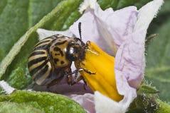 Colorado potato beetle eating. Stock Photos