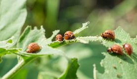 Larvae of the Colorado pest beetle on green potato leaves royalty free stock photo