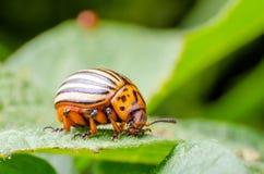 Colorado potato beetle eats green potato leaves.  royalty free stock photos
