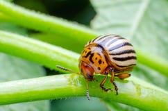 Colorado potato beetle eats green potato leaves royalty free stock photo