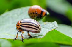 Colorado potato beetle eats green potato leaves stock images