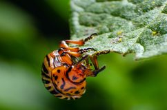 Colorado potato beetle eats green potato leaves stock photos
