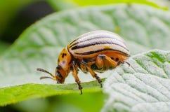 Colorado potato beetle eats green potato leaves royalty free stock image