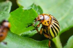 Colorado potato beetle eats green potato leaves royalty free stock photography