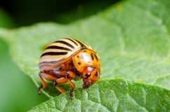Colorado potato beetle eats green potato leaves stock image