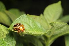 Colorado potato beetle. Eats a potato leaves Royalty Free Stock Photos