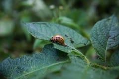 Colorado potato beetle Stock Image