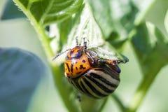 Colorado potato beetle eats potato leaves, close-up. Royalty Free Stock Photos