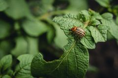Colorado potato beetle eats potato leaves potatoes in the garden. Pests and parasites destroy crops in agriculture. Colorado potato beetle eats potato leaves royalty free stock photo