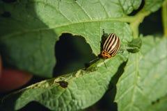 Colorado potato beetle eats potato leaves potatoes in the garden. Pests and parasites destroy crops in agriculture. Colorado potato beetle eats potato leaves royalty free stock photos