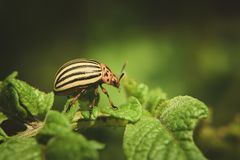 Colorado potato beetle eats potato leaves potatoes in the garden. Pests and parasites destroy crops in agriculture. Colorado potato beetle eats potato leaves stock image