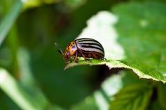 Colorado potato beetle eats leaves Royalty Free Stock Photos