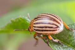 Colorado potato beetle eats potato leaves, close-up.  Stock Image