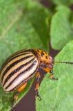 Colorado potato beetle eats potato leaves, close-up.  royalty free stock images