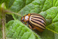 Colorado potato beetle eats potato leaves, close-up.  Royalty Free Stock Photography