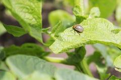 Colorado potato beetle eats potato leaves. Close-up Royalty Free Stock Images