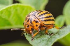 Colorado potato beetle eats potato leaves, close-up.  stock photography