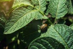Colorado potato beetle eats potato leaves,close-up.Colorado Potato Striped Beetle-Leptinotarsa Decemlineata,Serious Pest Of. Potatoes plants.Potato bug on green royalty free stock photo