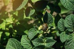 Colorado potato beetle eats potato leaves,close-up.Colorado Potato Striped Beetle-Leptinotarsa Decemlineata,Serious Pest Of. Potatoes plants.Potato bug on green stock image