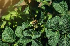 Colorado potato beetle eats potato leaves,close-up.Colorado Potato Striped Beetle-Leptinotarsa Decemlineata,Serious Pest Of. Potatoes plants.Potato bug on green royalty free stock images