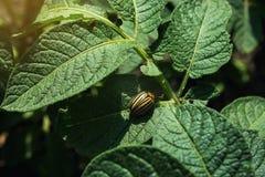 Colorado potato beetle eats potato leaves,close-up.Colorado Potato Striped Beetle-Leptinotarsa Decemlineata,Serious Pest Of royalty free stock photo