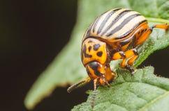 Colorado potato beetle eats potato leaves, close-up.  Stock Images