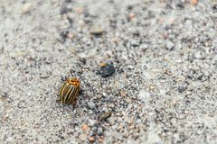 Colorado potato beetle eats potato leaves, close-up. Colorado potato beetle eats potato leaves, close-up on grey background stock images