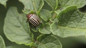 Colorado Potato Beetle Eats Potato Leaves stock video footage