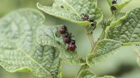 Colorado Potato Beetle Eats Potato Leaves stock video
