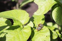 Colorado potato beetle eats potato leaves. Close-up. two of the Colorado potato beetle love each other Stock Photography