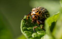 Colorado potato beetle eats potato leaves. Colorado potato beetle eats a fresh leaf on a potato bush. Summer vegetable garden stock photography