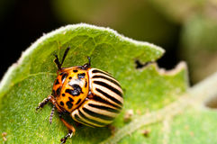 Colorado Potato Beetle on eggplant leaf Stock Photography