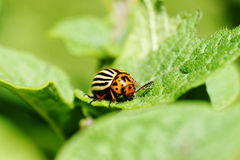 Colorado potato beetle feeding on leaves. Cute but damaging Colorado potato beetle feeding on the plant's leaves, an agricultural pest Royalty Free Stock Photo
