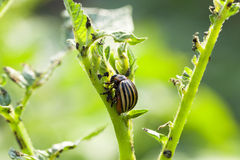 Colorado potato beetle in the field Stock Image
