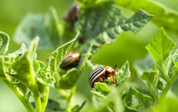 Colorado potato beetle in the field Stock Images