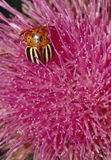 Colorado Potato Beetle on Flower Stock Image