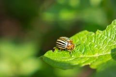 Colorado potato beetle on leaf. Colorado potato beetle on green leaf royalty free stock images