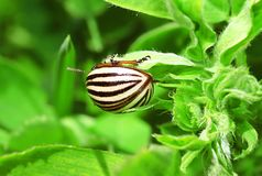 Colorado potato beetle on the green leaf, close-up Stock Images
