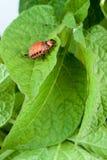 Colorado potato beetle Royalty Free Stock Photo