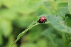 Colorado potato beetle on green leaves macro 8196 Stock Photos