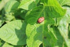 Colorado potato beetle on green leaves macro 8194 Stock Images