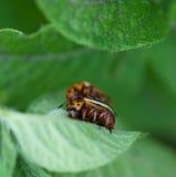 Colorado potato beetle. On green sheet of a potato royalty free stock photography