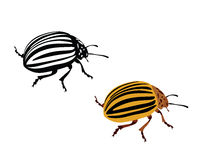 Colorado potato vector beetle - illustration Stock Photos