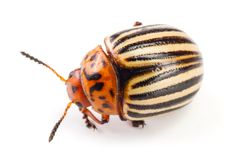 Colorado Potato Beetle isolated on white background.  stock image