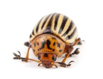 Colorado Potato Beetle isolated on white background.  royalty free stock image
